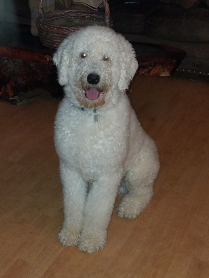 Shadow-Fax, Cream Standard Poodle