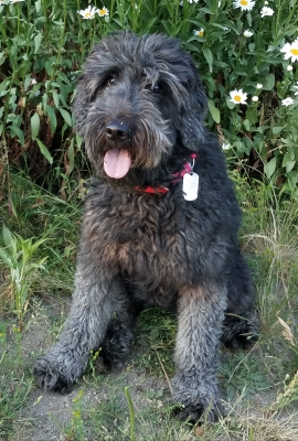 Lady-Hawk, F1 Silver Goldendoodle
